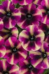 Petunia-Crazytunia Series 'Blackberry Mojito'